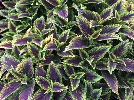 Planta morada y verde