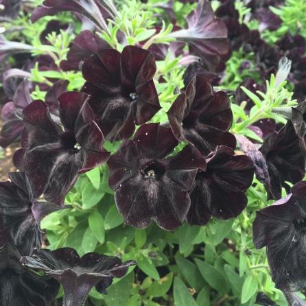 Petunias negras