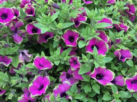 Flor morada de puntas verdes