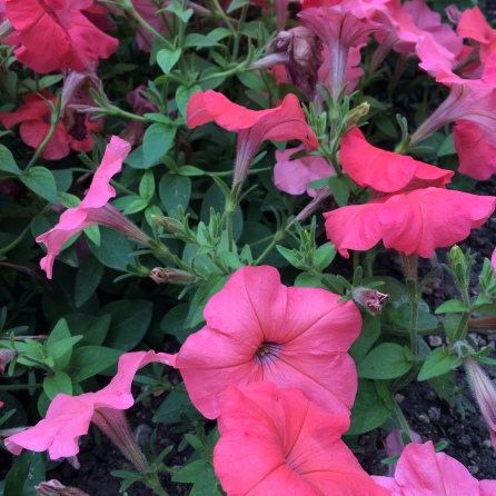 Petunia rosa